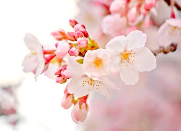 ピンクの花の待ち受けで恋愛運アップ