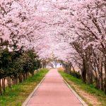 桜の歌ランキング★出会いと別れを感じる10曲